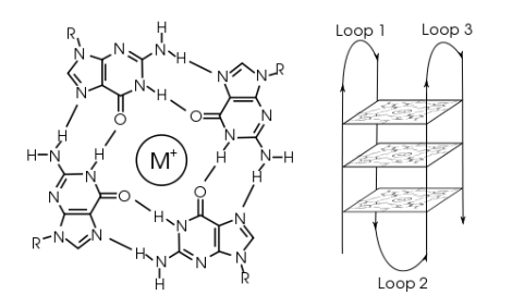 Left: a G-tetrad. Right: an intramolecular G-quadruplex