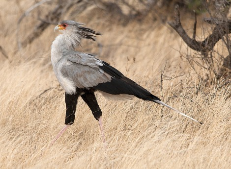 The Secretary Bird is just one species slated for breeding in the new facility. Photo: Sergey Yeliseev/Flickr