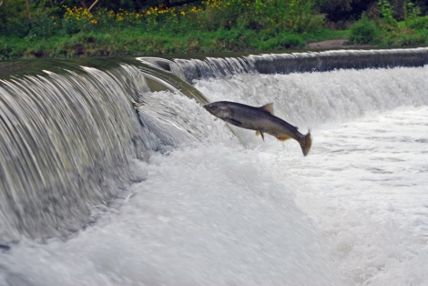 If salmon can do this, detecting a magnetic field doesn't seem that far-fetched. Photo: Steve Urszenyi/Flickr