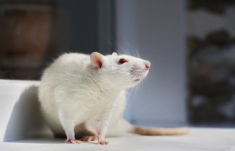 Inside the brains of rats, a mouse lives...sort of. Photo: Tatiana Bulyonkova/Flickr